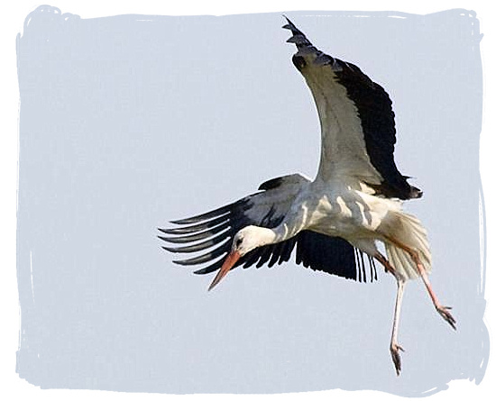 White Stork coming in to land - Mapungubwe National Park, cultural landscape, region, ruins