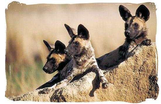 Pack of Wild Dogs - Biyamiti bushveld camp