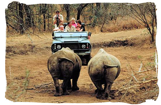 Game drive versus Rhino in one of South Africa 's national parks