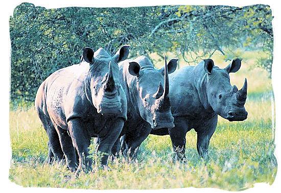 The three white Rhino musketeers