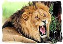 Male lion growling