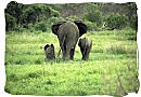 Elephant female with her calfs