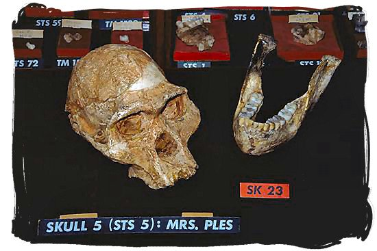 The famous fossilized scull called Mrs Ples which was found in the Sterkfontein caves at the Cradle of Humankind area