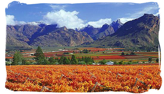 Vineyards between rugged mountains in the Western Cape province