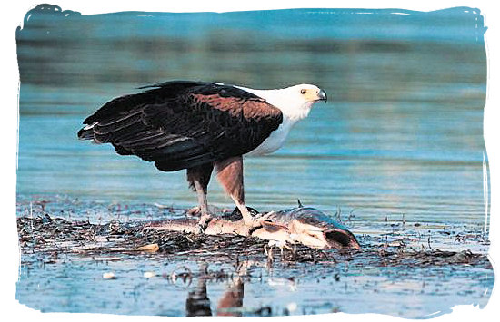 Berg en Dal Rest Camp, Kruger National Park, South Africa - African Fish Eagle