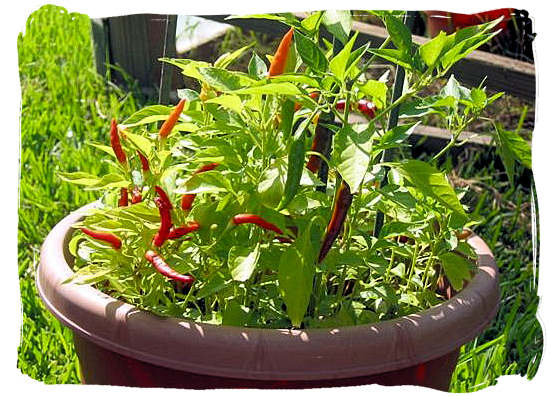 The locally grown African birds eye peppers, also called African red devil - Portuguese cuisine in South Africa