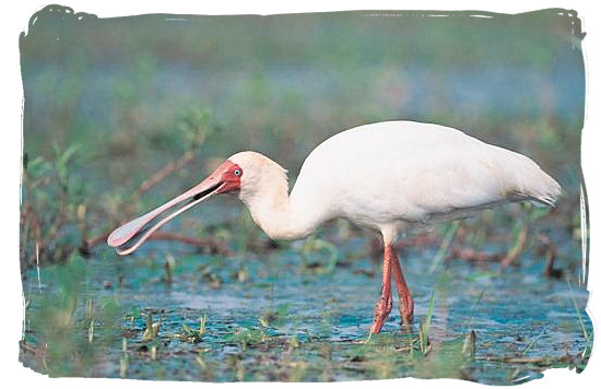 The African Spoonbill can be spotted around Pioneer dam - Mopani rest camp