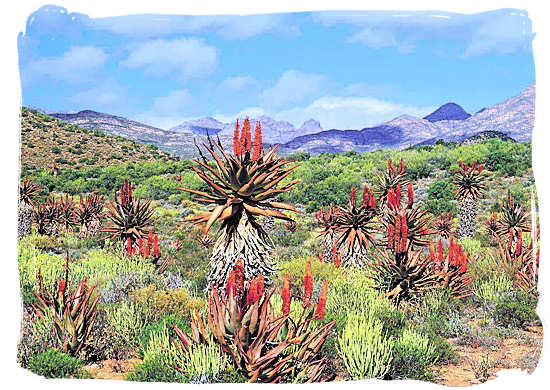 Aloes, one of the 9,000 plant species to be found in the Land of great thirst