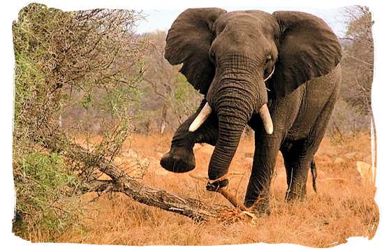 Elephant against tree - Kruger National Park Camps, Kruger National Park, Map, Tours, Safaris