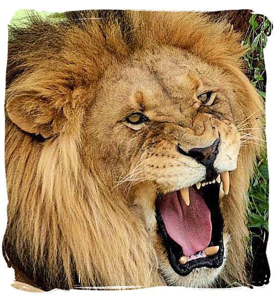 Male lion showing its anger - Kruger National Park accommodation
