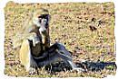 Baboon on guard