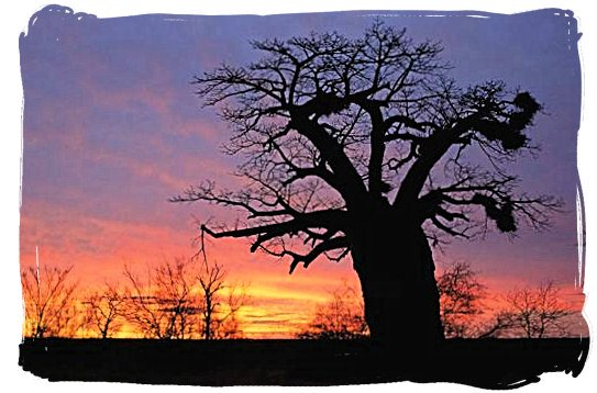Baobab tree at sundown near the bushveld camp - Bateleur Camp, Place of the Bateleur Eagle, Kruger National Park
