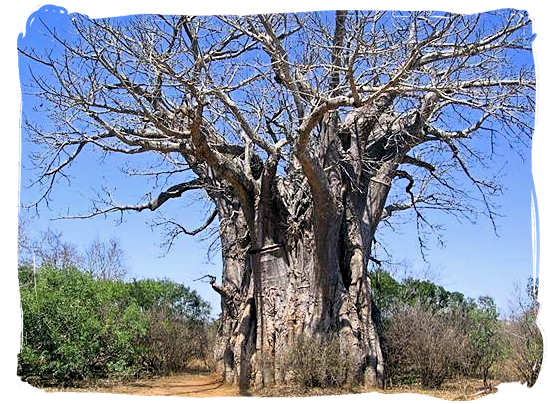 Huge baobab tree - Shumuwini bushveld camp, Kruger National Park