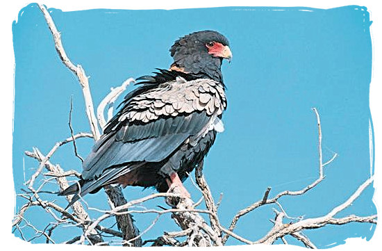 Bateleur Eagle - Bateleur Camp, Place of the Bateleur Eagle, Kruger National Park