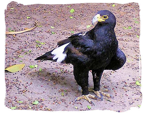 The African Black Eagle