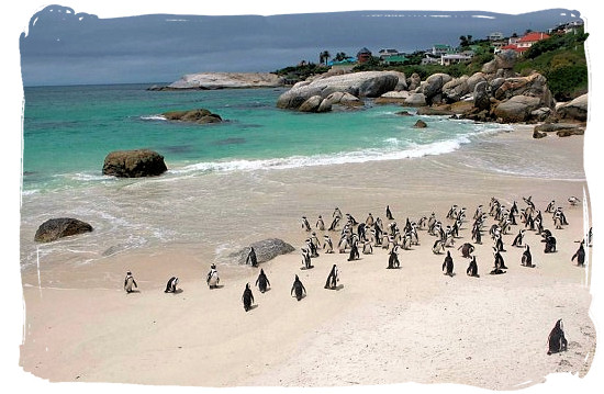Boulders beach with part of its colony of Jackass penguins - Cape Town holiday attractions, Table Mountain National Park