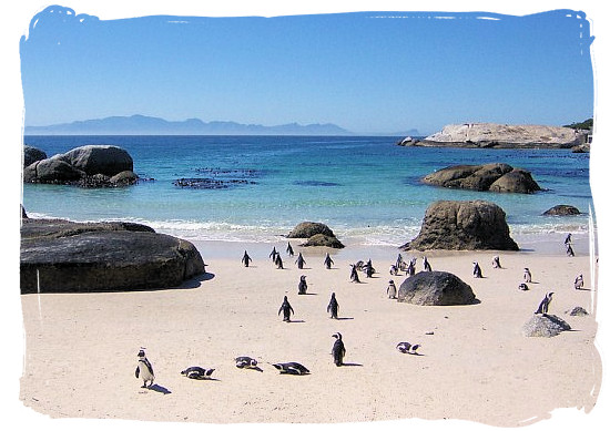 More of Boulders beach and its colony of Jackass penguins - Cape Town holiday attractions, Table Mountain National Park