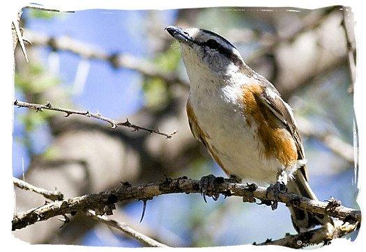 Brubru (Nilaus afer) - Mokala National Park in South Africa, endangered African animals
