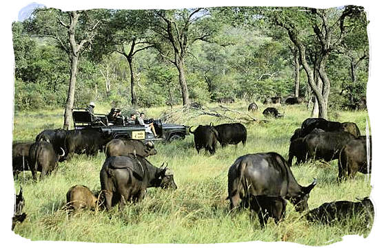 Buffalo encounter on a game drive