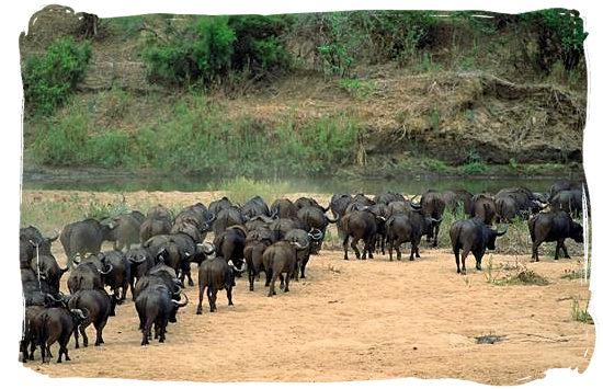 Herd of buffalos going for a drink at the Letaba river - Letaba main rest camp, Kruger National Park, South Africa