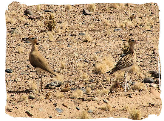 Burchell's Courser, a small bird that prefers the semi-desert open country - Tankwa Karoo National Park, National Parks in South Africa