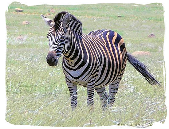 Burchell's Zebra, a sub species of the common or plains Zebra - Golden Gate Highlands National Park