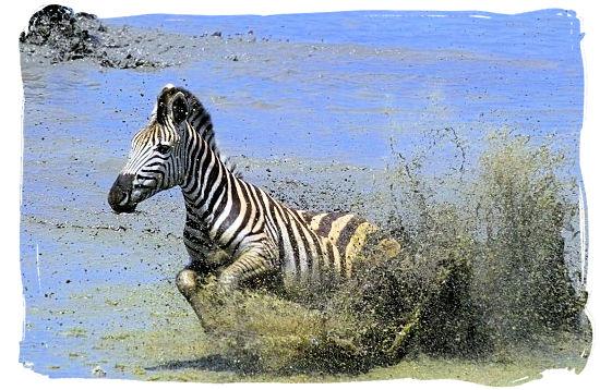 A Burchells zebra on the run - Marakele National Park Climate, Thabazimbi Waterberg