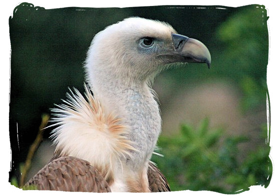 One of the 800 breeding pairs of Cape Griffin Vultures in the Park - Marakele Park Climate, Thabazimbi Waterberg