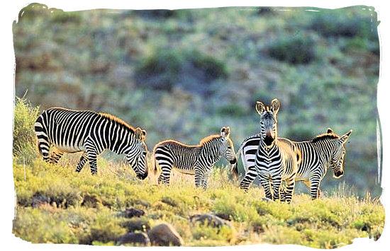 The rare Cape Mountain Zebra - Camdeboo National Park (previously Karoo Nature Reserve)