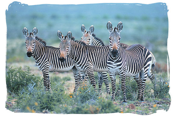 Small herd of the rare Cape Mountain Zebra, also to be found in the Bontebok National Park