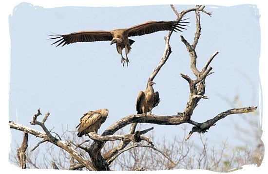 Colony of the endangered Cape Vultures - Marakele National Park in South Africa