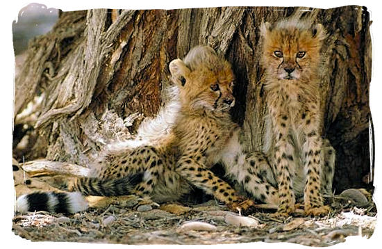 Two very young Cheetah cubs - Tsendze camp