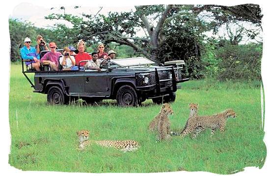 Game drive and Cheetah encounter - Shimuwini bushveld camp, Kruger National Park