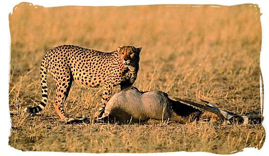 Cheetah and its Gemsbok kill - Bitterpan Wilderness Camp, Kgalagadi Transfrontier Park