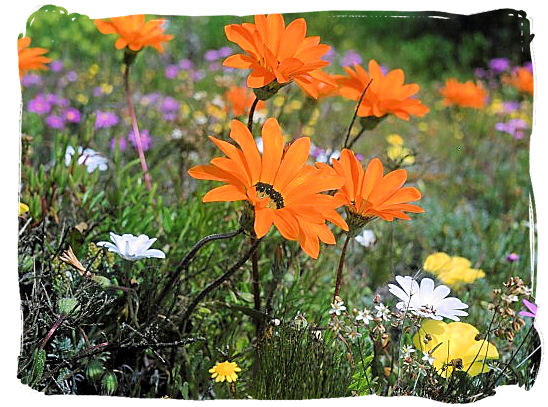 Close up of the famous Namaqualand daisies - Namaqualand National Park South Africa, Namaqualand Flowers Spectacle