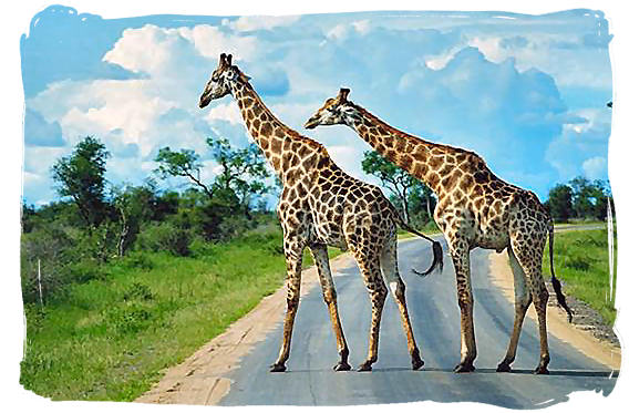 Giraffes on the main road in the Kruger National Park