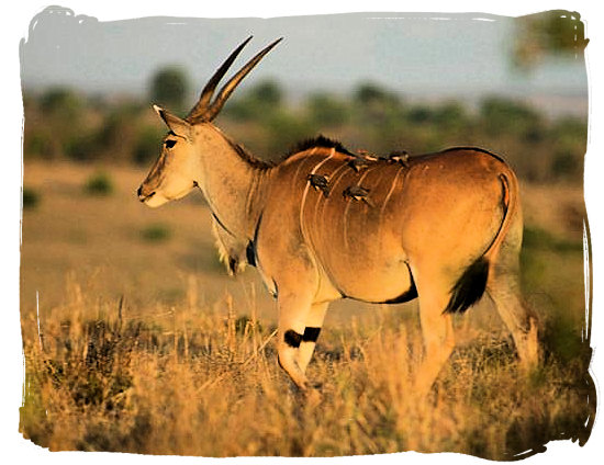The Eland, largest of the Antelope species - Golden Gate Highlands National Park
