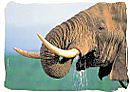 The Elephant, a member of the Big Five