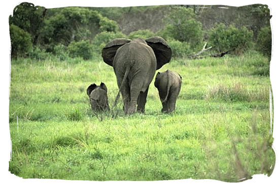 Berg en Dal Rest Camp, Kruger National Park, South Africa - Elephant mom with her kids