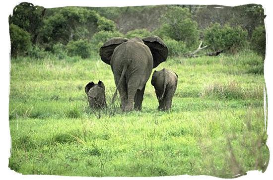 Berg en Dal Rest Camp, Kruger National Park, South Africa - Elephant mom with her kids