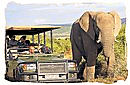 Elephant and gamedrive encounter in Shamwari game reserve