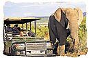 Elephant and gamedrive encounter in Shamwari game reserve