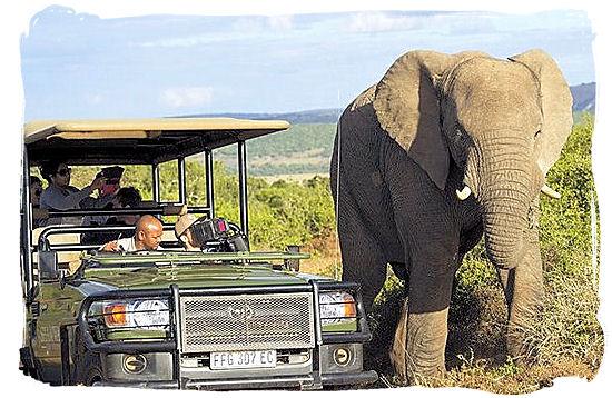 Elephant and game drive encounter in Shamwari game reserve