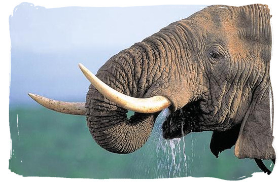 Elephant quenching a great thirst