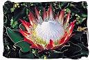 The King protea