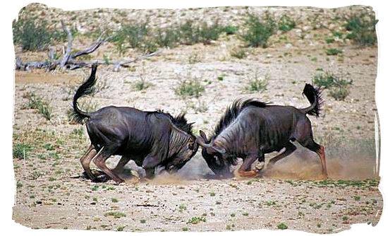Two Blue Wildebeests (Gnu's) locking horns - Shimuwini bushveld camp, Kruger National Park