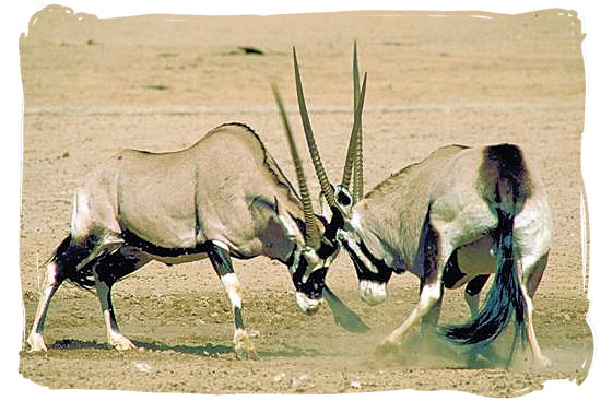 "Two Gemsbok antelopes (""Oryx Gazella"") having a go at each other"