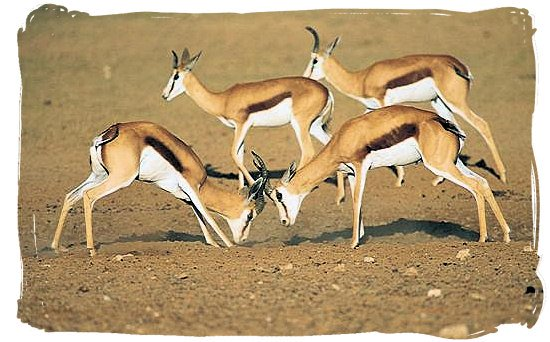 The springbok antelope, one of South Africa's national symbols
