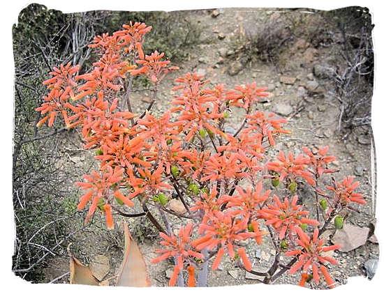 Flowers in the Karoo - Camdeboo National Park (previously Karoo Nature Reserve)
