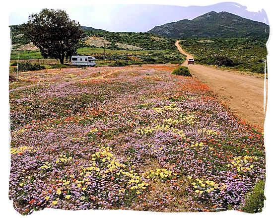 Namaqualand landscape in the flower season - Namaqualand National Park South Africa, Namaqualand Flowers Spectacle